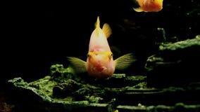 Peixe dourado video estoque