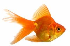 Peixe dourado foto de stock royalty free