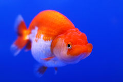 Peixe dourado bonito com fundo azul imagem de stock