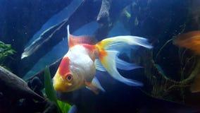 peixe dourado da cauda do véu Fotos de Stock Royalty Free