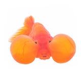 Peixe dourado de Bubbleye Foto de Stock Royalty Free