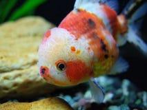 Peixe dourado de Oranda da chita imagem de stock royalty free