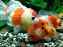 Peixe dourado de Oranda da chita imagens de stock