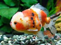 Peixe dourado de Oranda da chita fotografia de stock royalty free
