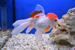 Peixe dourado de Shubunkin Foto de Stock Royalty Free