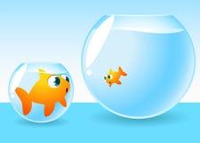 Peixe dourado demasiado grande para sua bacia Fotos de Stock Royalty Free
