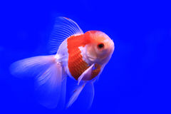 Peixe dourado na água clara Imagens de Stock