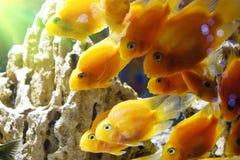Peixe dourado no aquário Fotografia de Stock