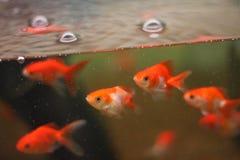 Peixe dourado no aquário Fotos de Stock