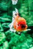 Peixe dourado no aquário Fotografia de Stock Royalty Free