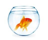 Peixe dourado no aquário isolado no branco fotos de stock