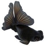 Peixe dourado preto no branco Fotos de Stock Royalty Free