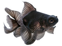 Peixe dourado preto no branco Imagens de Stock Royalty Free