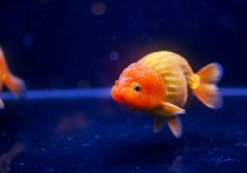Peixe dourado principal do oranda do leão no aquário foto de stock