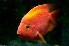 Peixe dourado que levanta atrás do vidro Fotografia de Stock Royalty Free