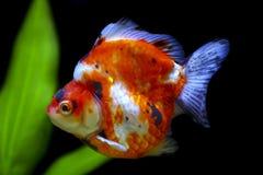 Peixe dourado Tricolor do ryukin Fotografia de Stock