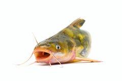 Peixe-gato Foto de Stock