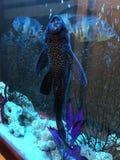 Peixe-gato colado à parede transparente do aquário imagens de stock