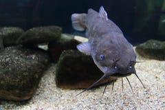 Peixe-gato de Brown Fotografia de Stock