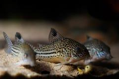 Peixe-gato de Corydora Fotografia de Stock