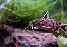 Peixe-gato de Petricola Foto de Stock Royalty Free