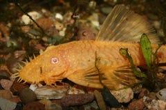 Peixe-gato (especs. de Ancistrus.) Fotos de Stock