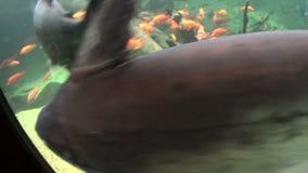 Peixe-gato gigante vídeos de arquivo