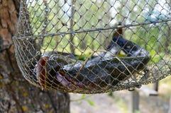 Peixe-gato grande na grade Prendedor fresco foto de stock royalty free