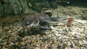 Peixe-gato no aquário imagens de stock royalty free