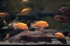 Peixe-gato Oxydoras niger da serra de fender fotografia de stock royalty free