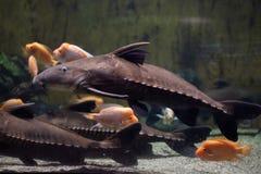Peixe-gato Oxydoras niger da serra de fender fotos de stock royalty free