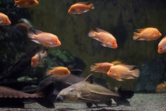 Peixe-gato Oxydoras niger da serra de fender foto de stock royalty free