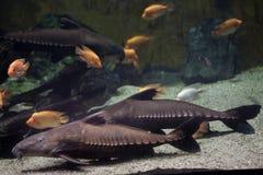 Peixe-gato Oxydoras niger da serra de fender fotos de stock