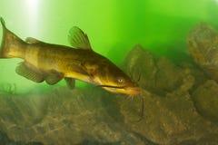 Peixe-gato preto, peixe-gato dos melas do Ictalurus Fotografia de Stock Royalty Free