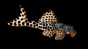 Peixe-gato tropical colorido Fotografia de Stock