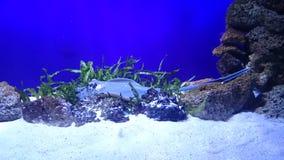 Peixe heterossomo exótico Fotografia de Stock Royalty Free