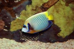 peixe-imperador imagem de stock royalty free