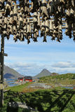 Peixe seco em Ballstad, Lofoten, Noruega Imagens de Stock Royalty Free