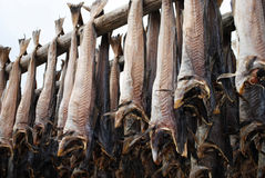 Peixe seco em Lofoten Fotografia de Stock