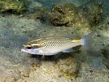 Peixes árabes da brema do monocle fotografia de stock