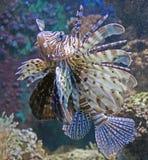 Peixes 2 do leão Fotografia de Stock