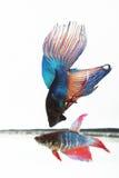 Peixes 4 de Flighting Imagem de Stock