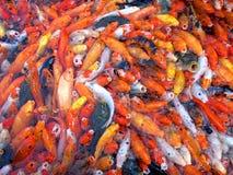 Peixes aglomerados Fotografia de Stock