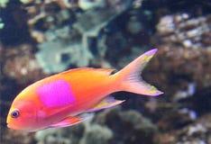 Peixes alaranjados com ponto cor-de-rosa Fotografia de Stock