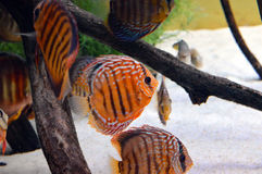 Peixes alaranjados do disco no aquário imagem de stock
