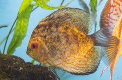 Peixes alaranjados no aquário fotografia de stock