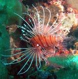 Peixes alinhados brancos do leão Imagem de Stock