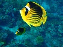 Peixes amarelos Imagens de Stock
