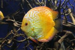 Peixes amarelos brilhantes do disco fotografia de stock
