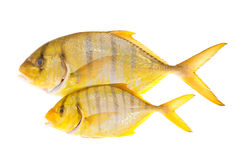 Peixes amarelos com listras foto de stock royalty free